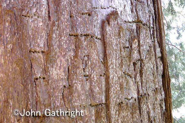 セコイアの樹皮。この穴はサップサッカーという鳥が穴をあけて樹液を吸っていった後だ。