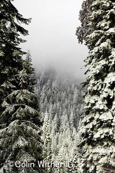 5月まだ雪が舞う。 厳しい気候がこのジャイアントセコイアをより一層大きく育むのだ