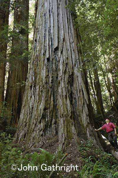 鼓動が聞こえてくるようなレッドウッド。これが現在世界一高い木だ。 今もなお元気に生き続けている。