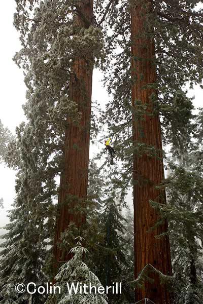 ツインシスターと呼ばれるジャイアントセコイア キャメロンがツリークライミングで樹上を目指す
